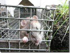 Rat-in-cage (1)
